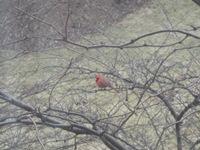 Minnesota Cardinal