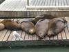 Pier_39_sea_lions_1_1