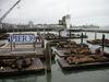 Pier_39_sea_lions_2