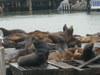 Pier_39_sea_lions_5_1